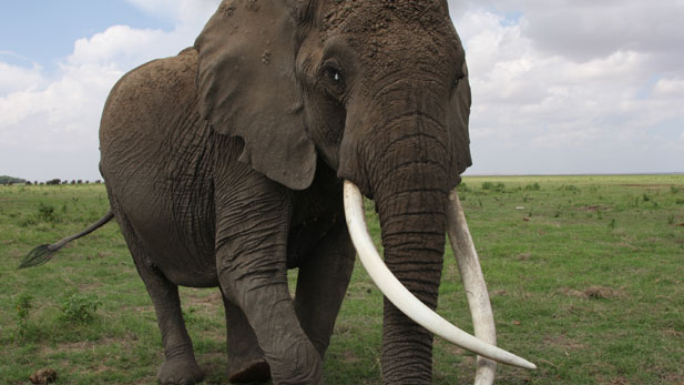 Nature:Echo An Elephant to Remember