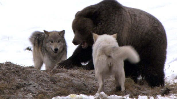 Nature: Clash-Encounters of Bears and Wolves