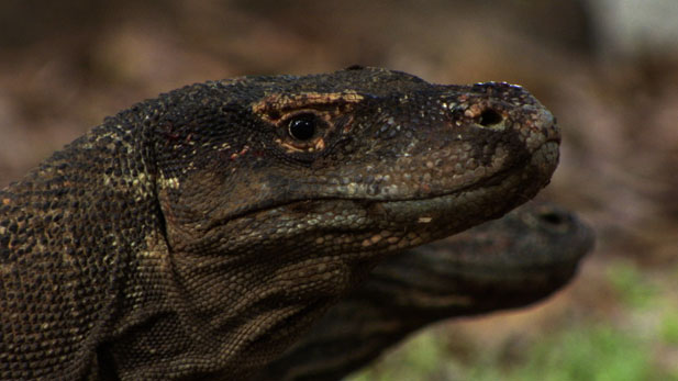 Komodo dragons of Komodo Island can eat 80 percent of their own bodyweight in a single meal.