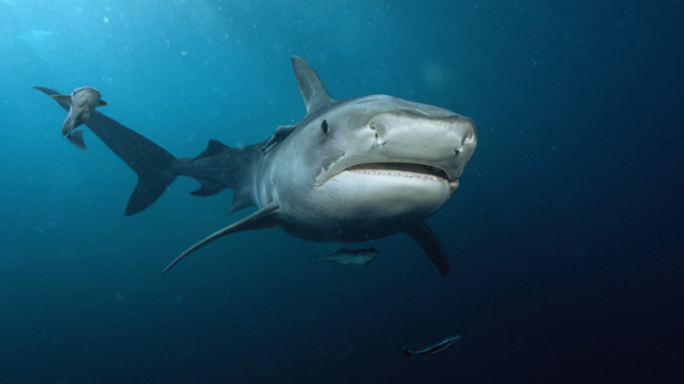 Nature: Sharkland
