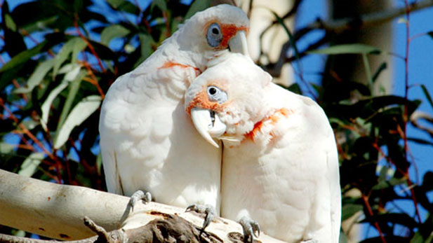 Nature_Parrots in the Land of Oz