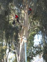 Tree_Eucalyptus-profile_port