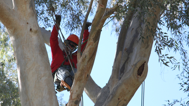 A competitor works his way through a course at the Arizona Tree Climbing Championships.
