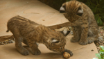 Bobcat kittens play at a Tucson-area home, in a photo taken by John Schaefer.