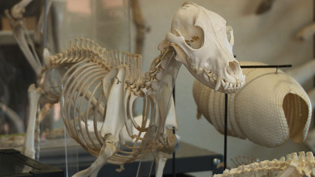 One laboratory on the University of Arizona campus explores the skeletal secrets animals leave behind.