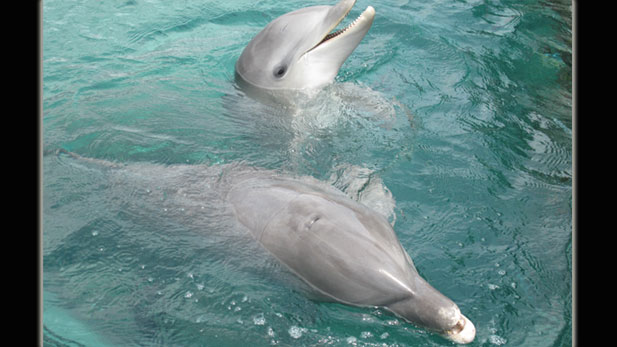 A legendary experiment in dolphin communication is being attempted for the first time in twenty years