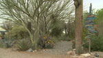 "A popular tree for landscaping in the Sonoran desert was heavily damaged or died in February due to record-low temperatures in Southern Arizona. ""Trees for Tucson"" no longer recommends this tree and not just because of the cold."