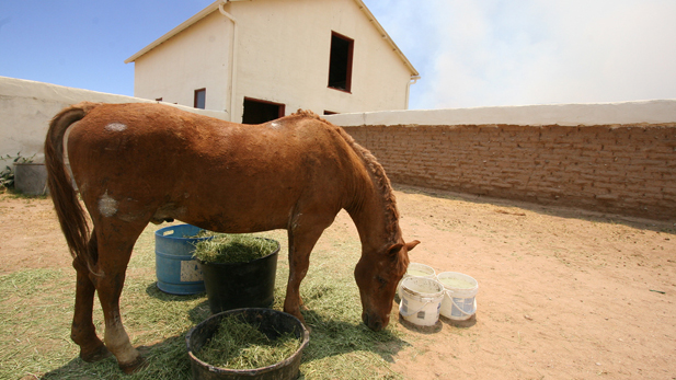 Charlie Horse grazes in his corral on a horse rescue ranch. He was badly burned in the Monument Fire in Southern Arizona's Huachuca Mountains when he panicked and ran into the flames.