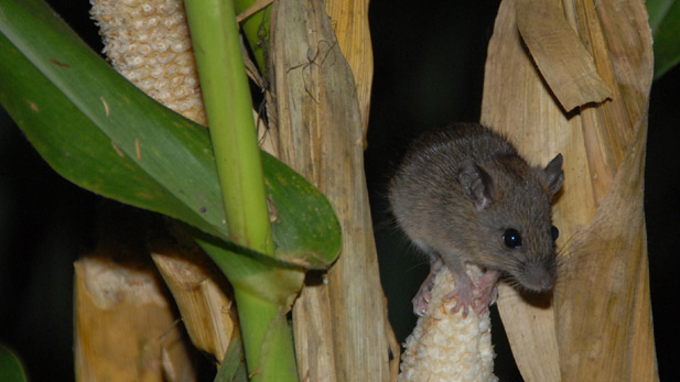 A black rat munches on corn in a field near Zamuang village in northeastern Mizoram.