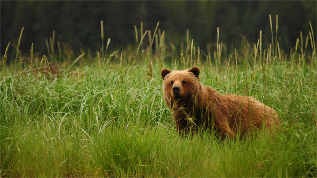 A bear on Alaska's Admiralty Island, which supports the largest concentration of bears anywhere in the world.