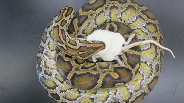 A Burmese Python devours a large rat in Dr. Stephen Secor's lab at the University of Alabama.