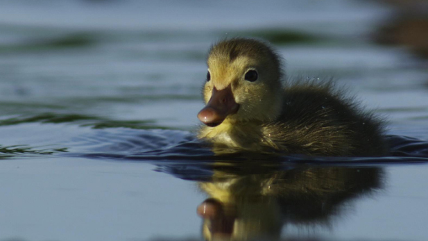 A red head duckling found in Egland, North Dakota.