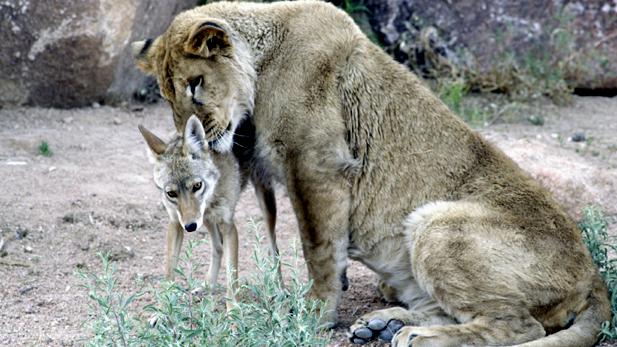 nature_animal_odd_lion-coy_spot