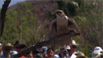 The Arizona Sonora Desert Museum presents a unique demonstration of free-flying desert raptors.