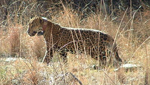 'Macho B,' a jaguar snared in Southern Arizona in 2009 and fitted with a tracking collar. He was later recaptured and euthanized.