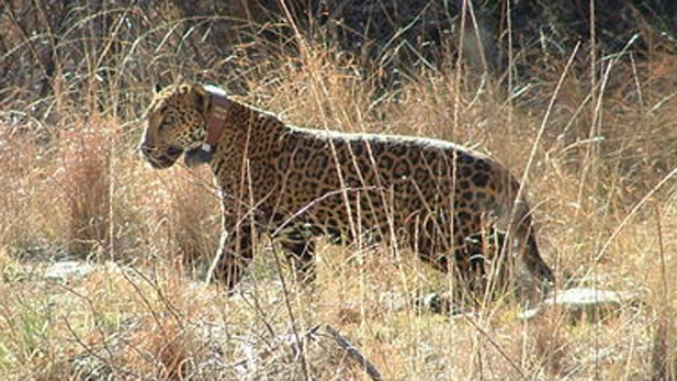 'Macho B,' a jaguar snared in Southern Arizona in 2009 and fitted with a tracking collar. The male jaguar later was recaptured and euthanized.