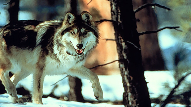 Mexican gray wolf, Canis lupus baileyi