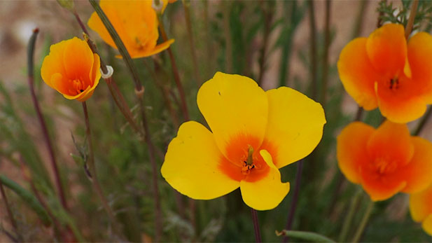 Winter wonder desert style: an abundance of wildflowers on the bloom. Here, golden poppies.