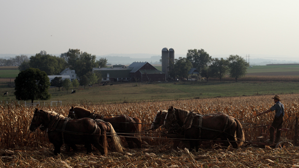 An Amish farmer working in his field with a team of horses.