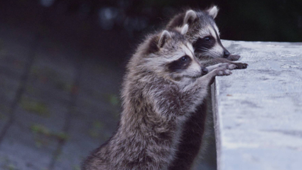 Are human beings, in an effort to outwit raccoons, actually making them smarter and unwittingly contributing to their evolutionary success? Scientists from around the world share their thoughts.