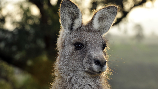 A young Eastern Grey Kangaroo 12 months after the fires.