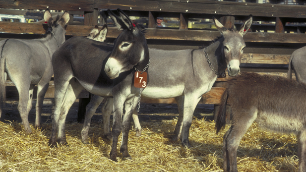 Wild burros awaiting adoption.