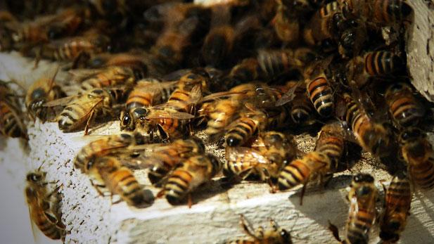 urban bees 617
