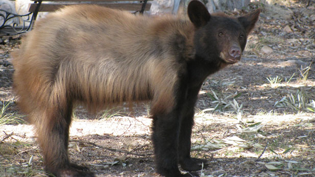 Black bear roaming in Huachuca Mountains (file photo)