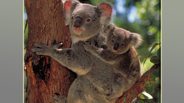 Koala with joey on a tree, learning to adapt to the consequences of urbanization and habitat erosion.