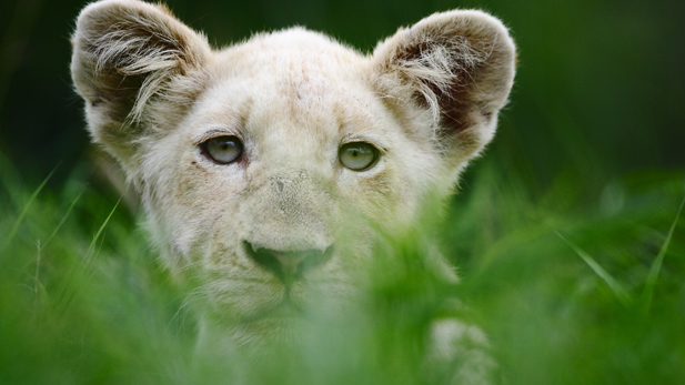 White lion cub Shinga