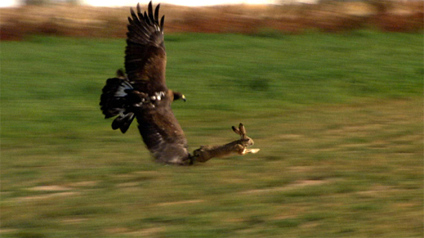 An eagle, with orbs larger than its brain, can spot a rabbit or other prey from hundreds of feet away. A rabbit skull is built on a shock-absorbing joint, helping to stabilize vision while leaping at top-speed to escape predators.