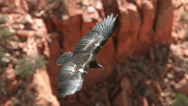 A California condor soars near the Grand Canyon. It is the most endangered bird in North America. It's also the largest, with a wingspan of about nine feet.
