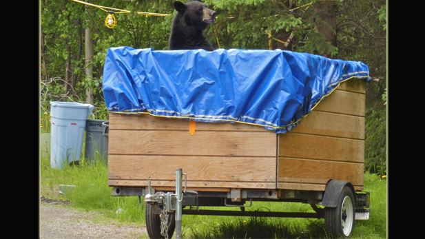 nat_frontier_black-bear_male_spot