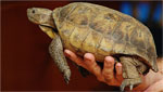 Stephane Poulin, chief herpetology curator of the Arizona-Sonora Desert Museum talks about the desert tortoise adoption program and other wildlife issues.