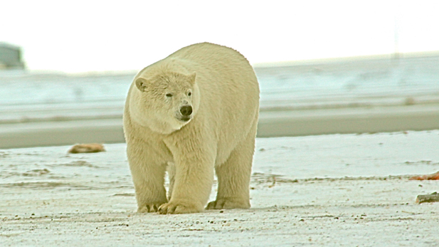 A polar bear walks toward the discarded remains of a bowhead whale just outside of town.