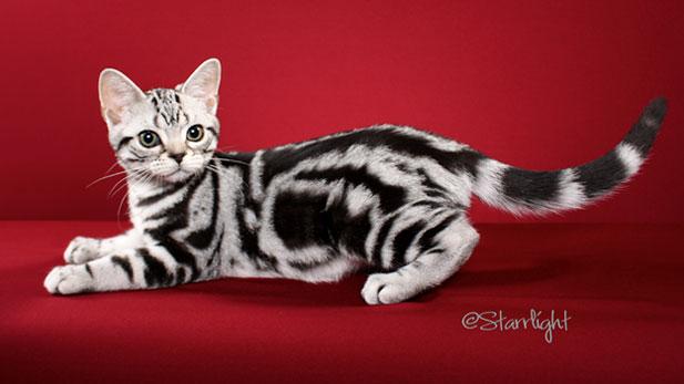 Upcoming cat show in Tucson: Coatimundi Cat Club