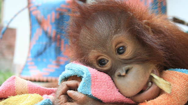 An orangutan feeling under the weather recuperates in the clinic.