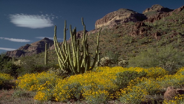 Organ Pipe cacti are native to Mexico, but are also found in part of Arizona, in the Organ Pipe Cactus National Monument.