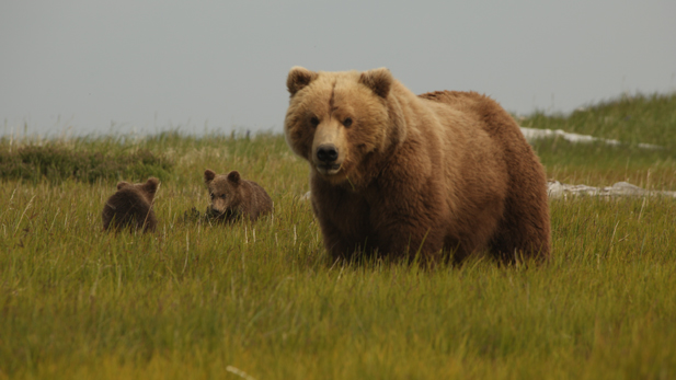 """City of Bears."" Nadie and cubs in sedge meadow during mating season."