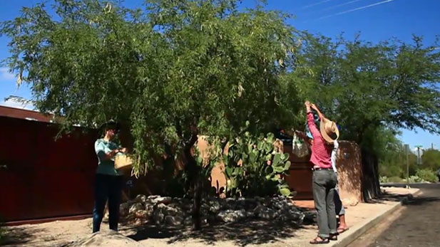 Desert harvesters are harvesting mesquite trees.