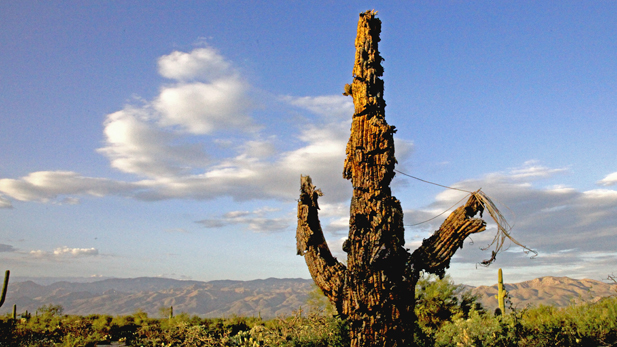 saguaro-color2_617x347