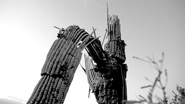 saguaro-monochrome_617x347