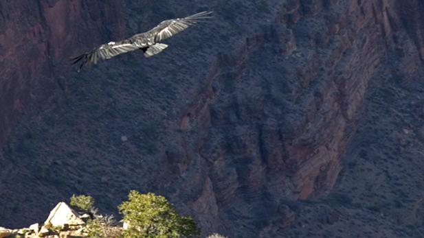 condors_grand-canyon-flight_617x347