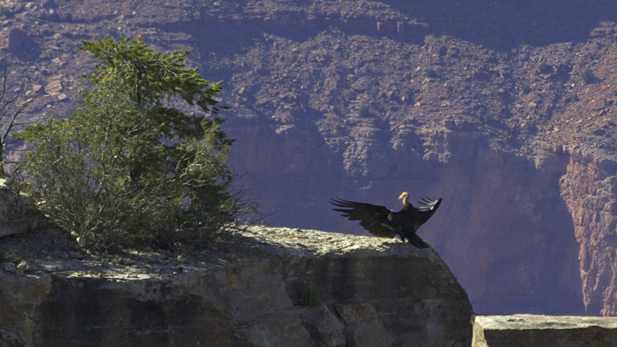 condors_grand-canyon-sentinel_617x347