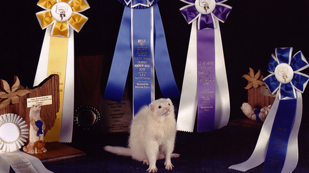 A ferret poses amidst the various Buckeye Bash prizes.