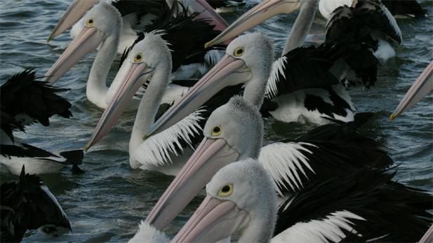 nature_pelicans_2_spot