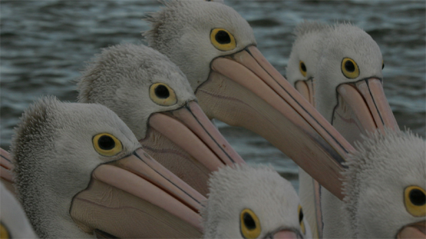 "Pelicans fish in the premiere of NATURE: ""Outback Pelicans."""