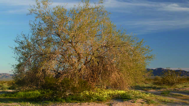 The Ironwood tree can live up to 800 years.