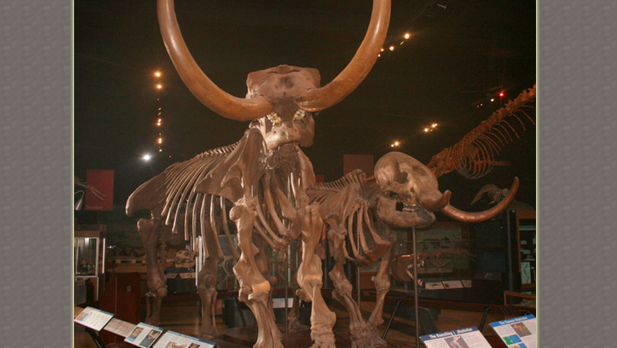 Mastodon skeleton at the University of Michigan's Museum of Natural History.