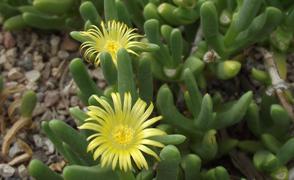 malephora-lutea_294-180